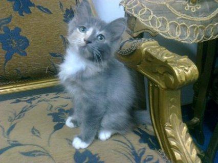 قطة شيرازى عمر 3 شهور