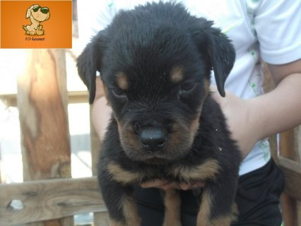 Rott puppies for sale 60 days