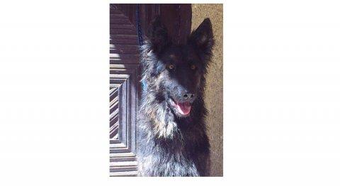كلب جيرمان شيبرد لونج هير سنة وشهرين مواصفات ممتازة لسرعة البيع