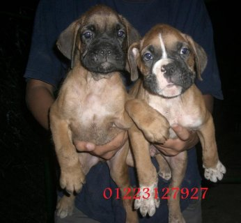 Grawy boxer mostwyat 3alya sn 45  Fawn colors ,in pic Male