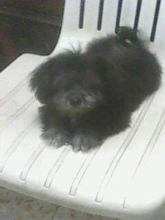 كلب جريفون شهرين