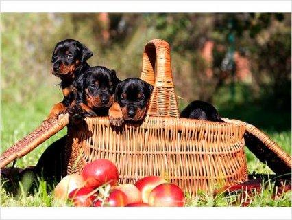 European Doberman puppies\' superior size FULL AKC paperwork - Pl