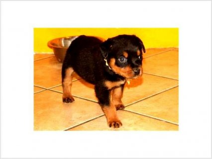 Healthy ROTTWEILER PUPPIES, TEXT US FOR MORE DETAILS