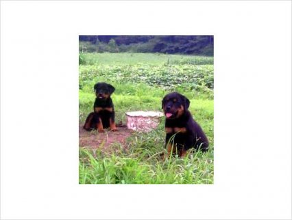 Rottweiler (German) AKC Registered