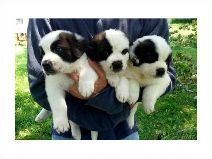 Water Trained KC Smooth Coat Male/Female Saint Bernard Puppies