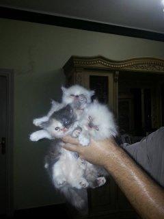 اجمل قطط بيكي فيس