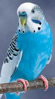 عصافير اسيرالي