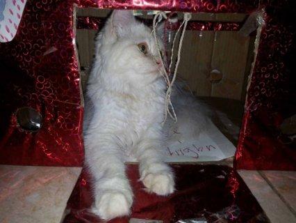 قطة بيرشن 7شهور تم اااااااااااالبيع  بحمد ااالله
