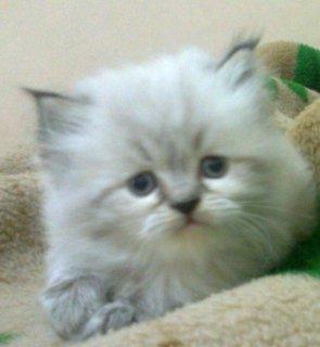 4 قطط شيرازى هاف بيكى فيس __ العمر 45 يوم