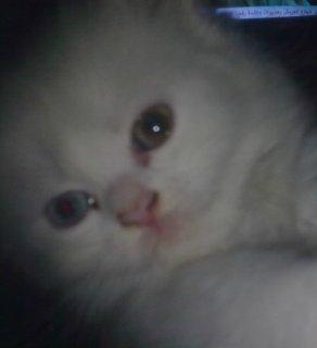 3 قطط شرازى \\ العمر شهرين