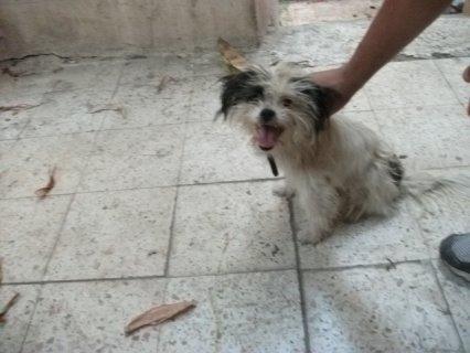 للبيع كلبة جريفون 3 شهور