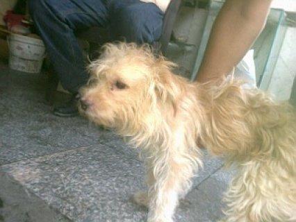 كلب جريفون 5 شهور