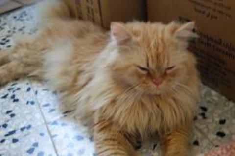 قط شيرازى ذكر جميل