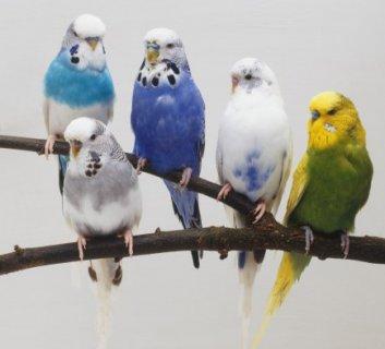 عصافير زينة ملونة غاية في الروعة (بادجي ، روز ، فشر ، كركدلو...)