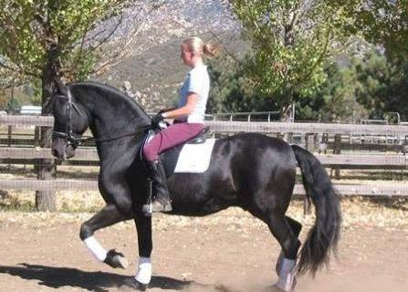 الحصان الأسود الفريزية للبيع