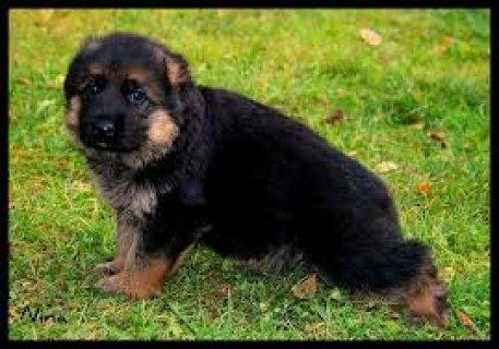 كلب جرمن للشراء صغير  تبعوني من علي البريد اللاكتر