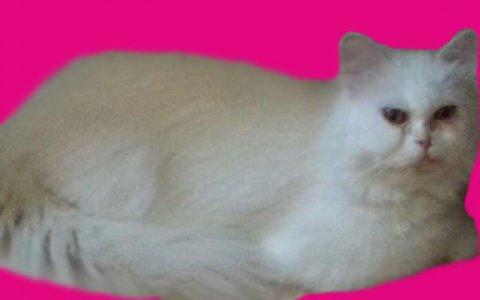 كوكى قطة بيرشن بيور