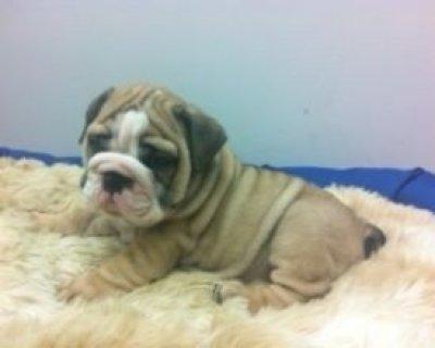 De-worming Bulldog Puppies