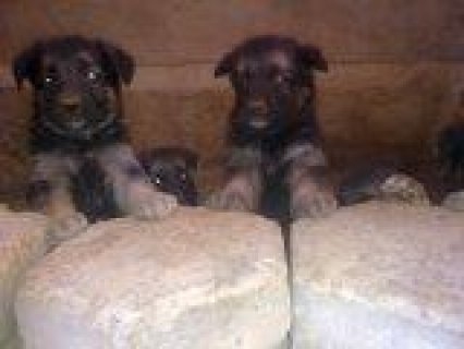 جراوى جرمن بيور,german shepard puppies for sale 30 days in photo
