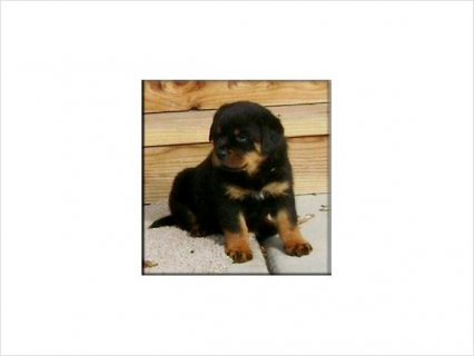 Well Trained Rottweiler Puppies looking for life time companion
