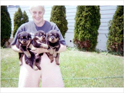 Akc/CKC Champion German Bloodline Rottweiler puppies