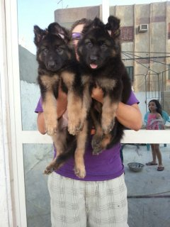 top puppies gsd 45 dayes males&females