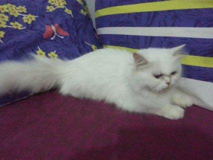 قطة شيرازى منتجة
