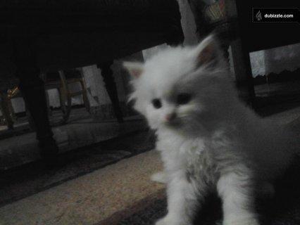 قطة شيراز بيكي فاس 40 يوم