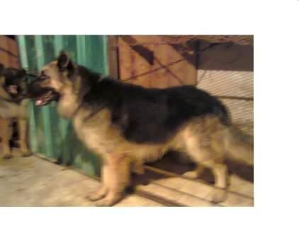 للمحترفين في تربية الكلاب ذكر بلجيكي لونج هير للبيع