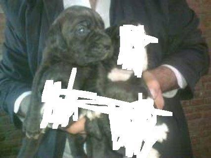 كلبه بيتبول للبيع عمر 30يوم
