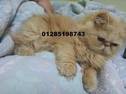 للبيع توتا بنت هونذا شيرازى كريمى زورار عمر 6 شهور للاستعلام 012