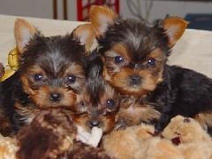 Yorkshire Puppies available for sale