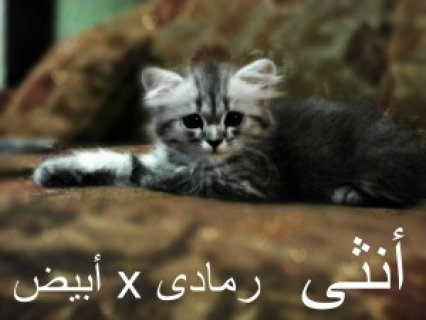 للبيع 3 قطط شيرازى