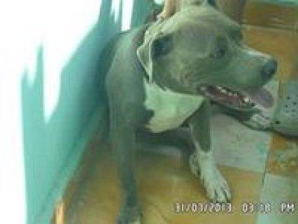 كلب بيتبول بلو للجواز بمقابل مادي