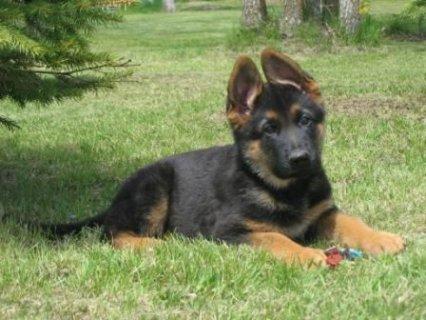 طلب كلب جرمن شيبرد 4 شهور