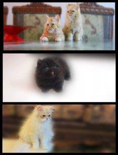 مجموعه قطط للبيع   ( تم البيع )