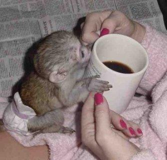 Excellent Capuchine Monkey for adoption