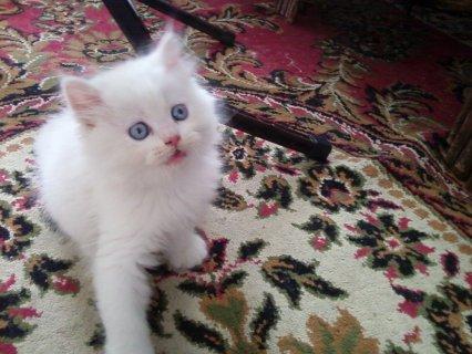 للبيع من اجمل القطط الشيرازى