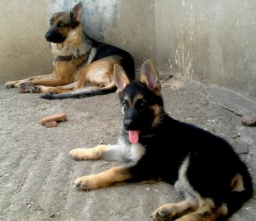 puppies german shepherd pure
