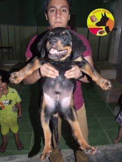 كلاب للبيع جراوى روت فيلر