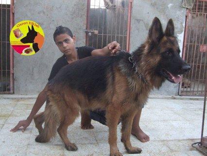 كلاب للبيع دكر جيرمن شولاين