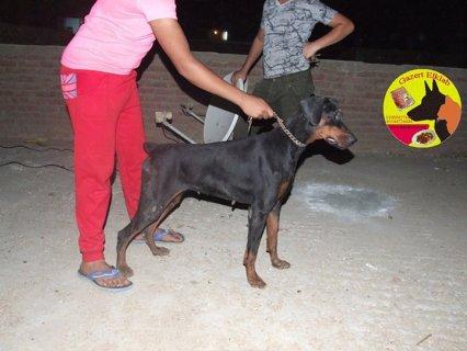 كلاب للبيع قص دوبر مان