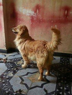 كلاب جولدن للبيع 3 نتاية 9 شهور وسنتين ونصف و3 سنين ودكر سنتين