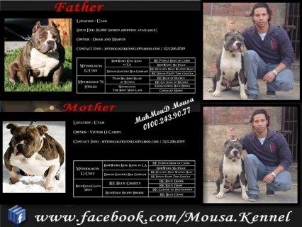 للبيع او التزاوج من أجمل الكلاب البولى فى مصر