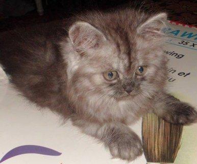 قط شيرازي شقي و جميل