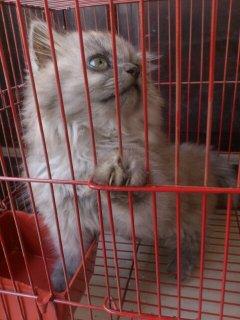 قطط شيرازى للبيع في المنصوره