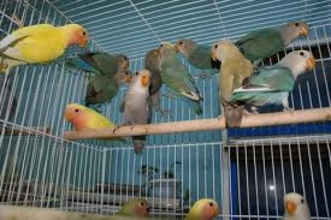 طيور روز بجميع الوانها