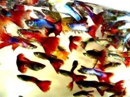 300 سمكه جوبى الوان مميزه
