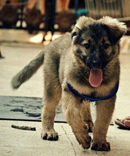 كلاب جيرمن لون رماضي حجم ضخم عمره ٤شهور