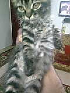 قطط هجين شيرازى مع ماو مصرى للبيع   فى القاهرة